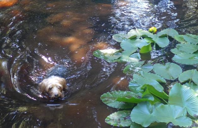 swimming nicky dog