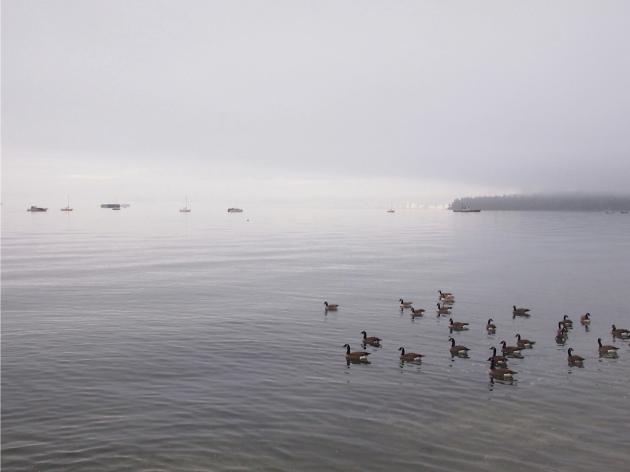 canada goose2
